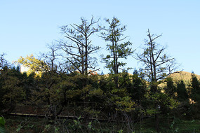 一排银杏树