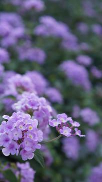浪漫紫色马樱丹
