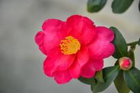 鲜艳的山茶花