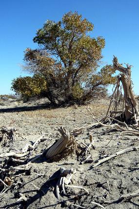 敦煌西湖自然保护区的胡杨