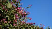 蓝天底下的紫荆花