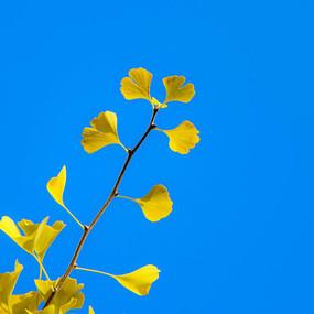 蓝天下的银杏叶子