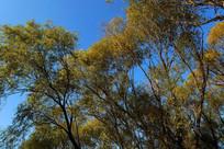 蓝天下茂密的树林秋色
