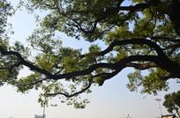 树木蓝天风景图片
