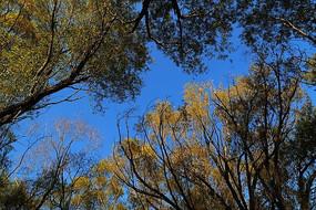 仰拍蓝天下的大树树冠