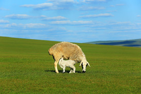 吃奶的小羊羔