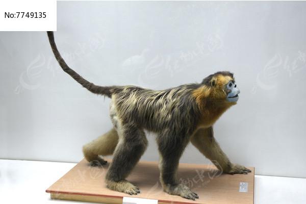 滇金丝猴标本图片