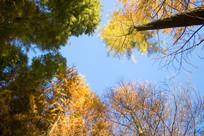蓝天下的秋天的大树