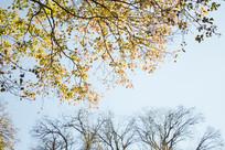 秋天的黄色树叶