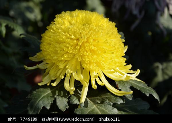 绒球黄菊花图片