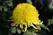 绒球黄菊花
