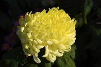 盛开黄菊花