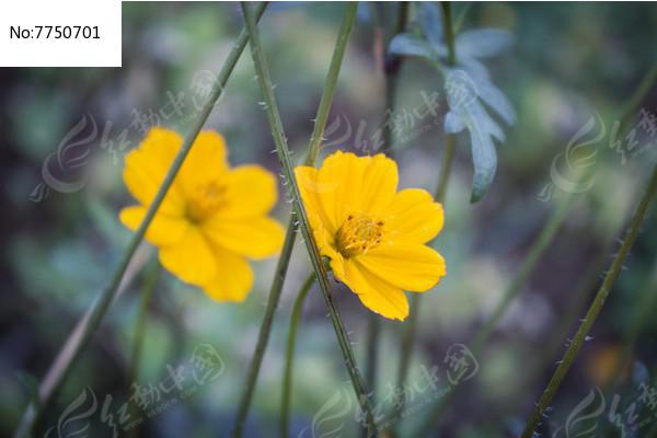 鲜艳的黄色小花朵图片