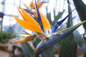 一朵鹤望兰花卉