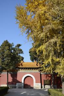 景山古庙银杏
