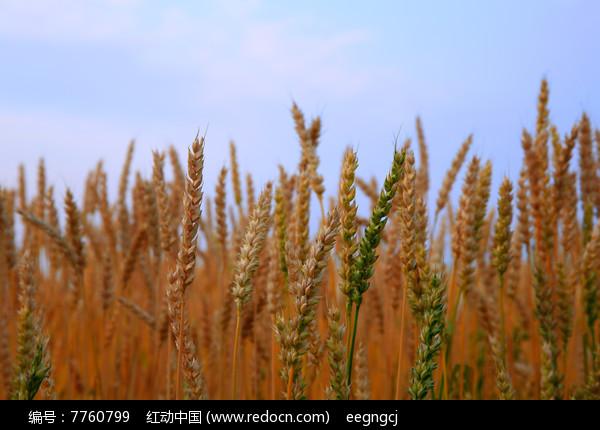 秋天的麦穗图片