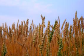 秋天的农作物