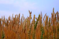 秋天的麦穗