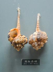 鹅头骨螺标本