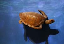 海龟猪鼻龟标本