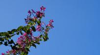 蓝天下的一束紫荆花