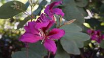 两朵紫荆花
