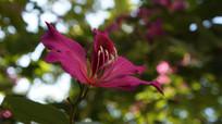 一朵紫荆花