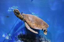 游泳的海龟标本
