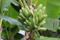 挂在树上的香蕉