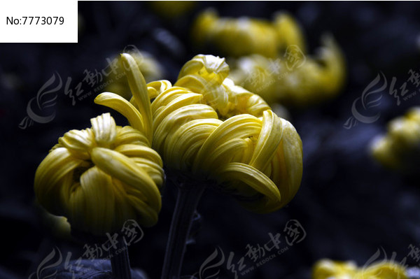 黄菊花特写图片