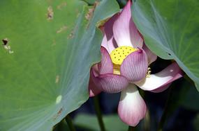 近拍花池里的一朵荷花荷叶特写图片