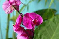 美丽的蝴蝶兰