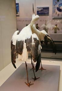 鸟类标本白鹤求偶