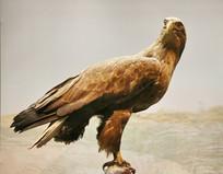 鸟类标本白尾海雕