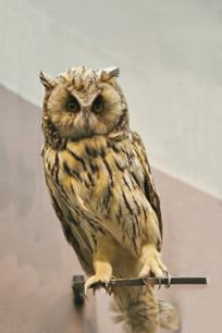 鸟类标本长耳鸮