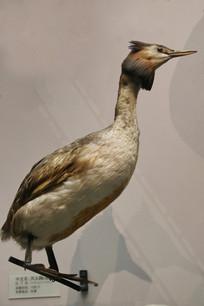 鸟类标本凤头鲣鸟