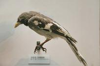 鸟类标本灰喜鹊