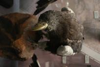 鸟类标本虎头海雕