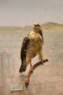 鸟类标本秃鹰