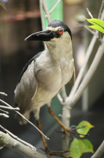 鸟类标本夏候鸟