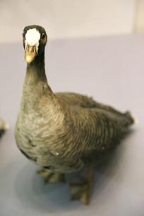 鸟类标本小白额雁
