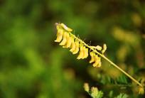 黄色的黄芪花
