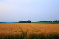 金色的秋季麦田