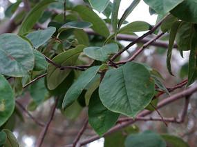 木瓜树枝叶