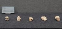 巫山龙骨坡遗址出土广西巨羊骨骼