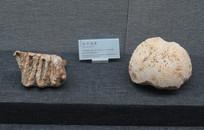 巫山龙骨坡遗址出土似中国犀