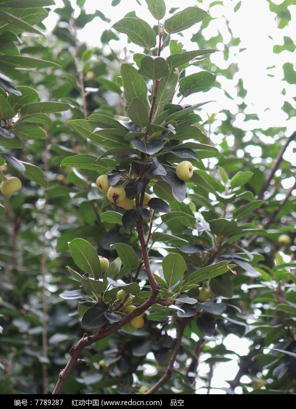 西府海棠图片和果实图片