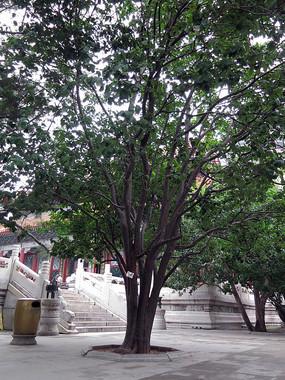 颐和园内的木瓜树