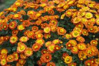 橘黄色菊花
