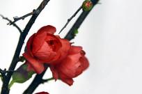 近拍盆栽红梅花